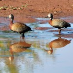 Irerê (Dendrocygna viduata) White-faced Whistling-Duck