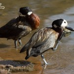 Irerê (Dendrocygna viduata) - White-faced Whistling-Duck_ibira_sli