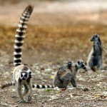 Ring-tailed Lemurs by Markus Lilje