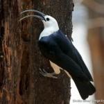 Sickle-billed Vanga by Glen Valentine