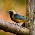 Saíra-amarela – M (Tangara cayana) Burnished-buff Tanager