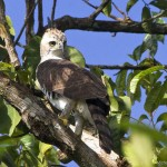 Spizaetus ornatus immature