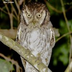 004 - 04.ago.12 - 18.36h - Corujinha-do-mato (Megascops choliba) - Tropical Screech-Owl by Silvia_sli