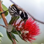 new holland honeyeater – (Phylidonyris novaehollandiae)