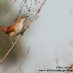 Curutié (Certhiaxis cinnamomeus) Yellow-chinned Spinetail