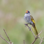Sabiá-do-banhado (Embernagra platensis) Great Pampa-Finch