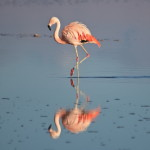 Flamingo-chileno no Salar de Atacama