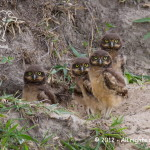 026 - Coruja-buraqueira (Athene cunicularia) - Burrowing Owl-Tremembé - arrozal do Marcão - 28.10.12