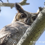 031 - Jacurutu (Bubo virginianus) - Great Horned Owl-Mostardas - RS - 04.11.12