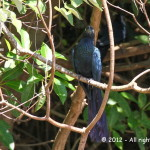 033 - Anu-coroca (Crotophaga major) - Greater Ani-Pirassununga - AFA - 16.11.12