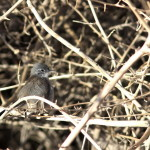 Polioptila melanura – Black-tailed Gnatcatcher