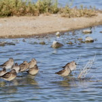Tringa melanoleuca –  Greater Yellowlegs
