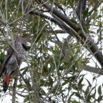 Colaptes auratus – Northern Flicker