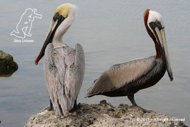 Pelicano-pardo (Pelecanus occidentalis) - Brown Pelican