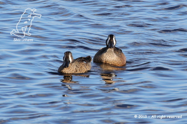 Marreca-de-asa-azul (Anas discors) - Blue-winged Teal