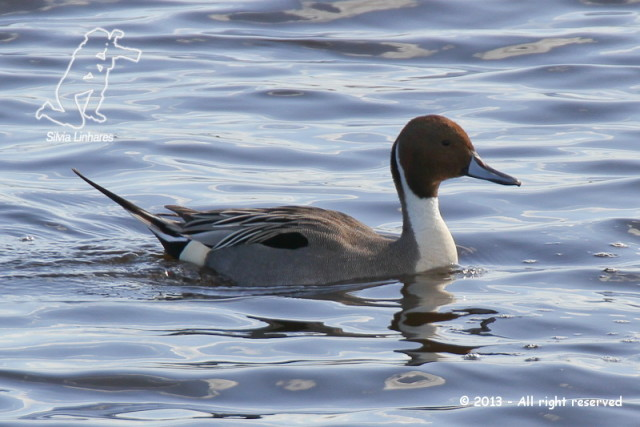 Arrabio (Anas acuta) - Northern Pintail