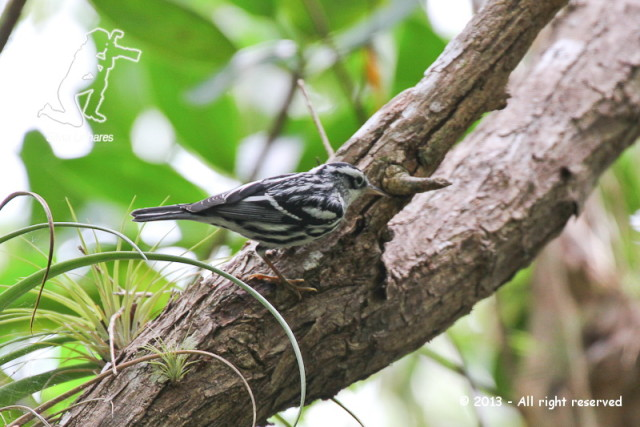 Black and White Warbler (Dendroica varia)