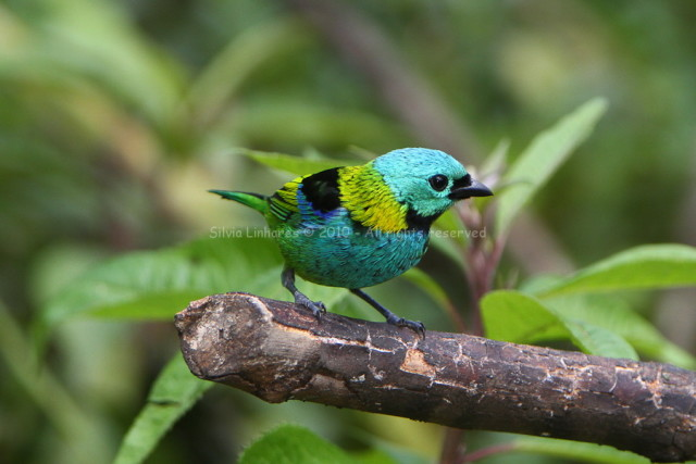 Saíra-sete-cores (Tangara seledon) Green-headed Tanager