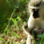 Vervet Monkey, Kruger – África do Sul