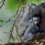 Vervet Monkey. Kruger – África do Sul
