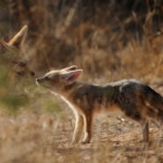 Cape Fox. No Kgalagadi – África do Sul.