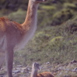 Guanacos, Torres del Paine – Patagônia chilena