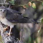 (Accipiter ovampensis)  Ovambo Sparrowhawk