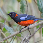 Anisognathus igniventris_Scarlet-bellied Mountain Tanager