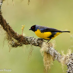 Buthraupis montana_Hooded Mountain Tanager