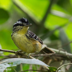 Hypocnemis subflava_Yellow-breasted Warbling Antbird_cantador-galego