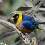 Iridosornis jelskii_Golden-collared Tanager