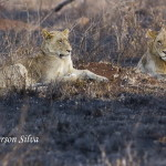 Panthera-leo-Lion-Kruger-30-07-13-IMG_10250_Jefferson_Silva