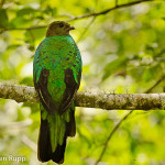 Pharomachrus auriceps_Golden-headed Quetzal