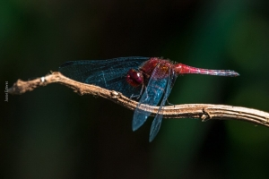 12 - Orthemis discolor - foto Junior Esteves