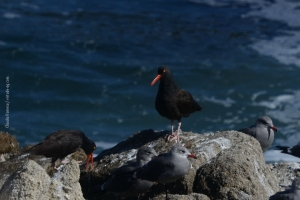Point-Lobos_nature_10