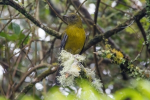 Gray-winged Cotinga