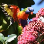 Birdwatching e fotografia de natureza em Sydney, Blue Mountains, Coffs Harbour, Dorrigo NP – Australia, dez/17, por Claudia Komesu
