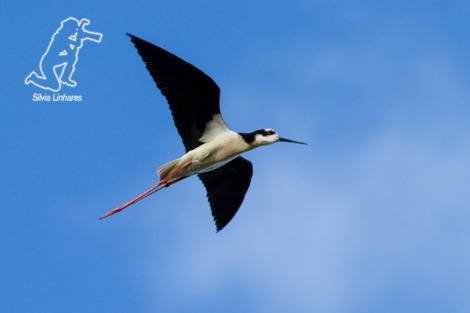 04.11.12 - Pernilongo-de-costas-brancas (Himantopus melanurus) - White-backed Stilt - Tavares - 033_