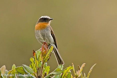 Ochtoeca rufipectoralis_Rufous-breasted Chat-Tyrant