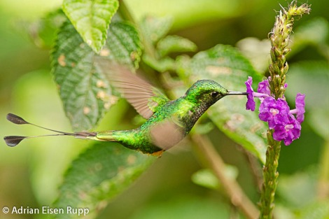 Ocreatus underwoodii_Booted Racket-tail