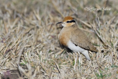 (Cursorius temminckii) Temmincks courser