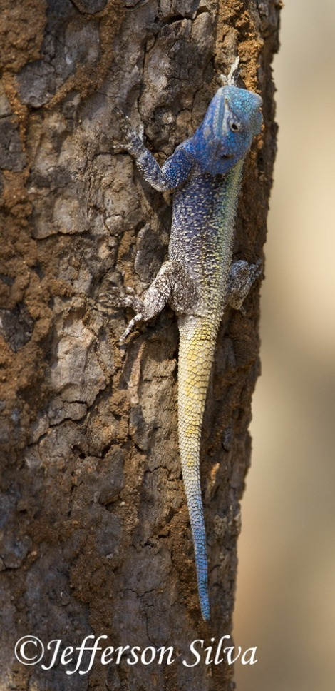 Acanthocercus-atricollis-Blue-headed-agama-Kruger-28-07-13-IMG_8099_Jefferson_Silva