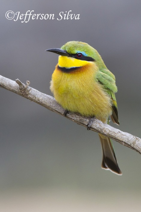 Merops-pusillus-Little-Bee-eater-Kruger-29-07-13-IMG_8972_Jefferson_Silva