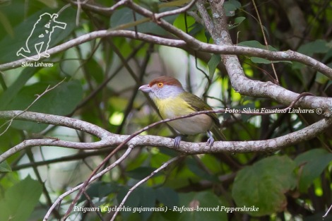 Pitiguari (Cyclarhis gujanensis) - Rufous-browed Peppershrike - Morro do Diabo - Teodoro Sampaio JUNHO 2014 001 - junho 19, 2014