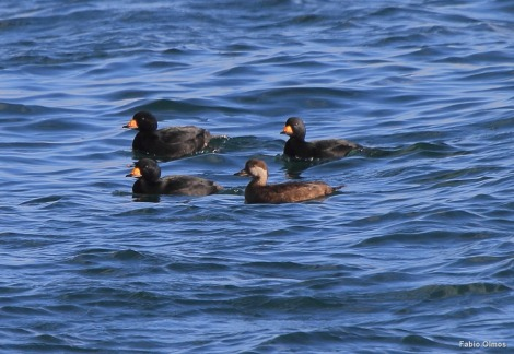 Black Scoters Melanita nigra nidificam no norte do Canadá e Alasca e são residentes de inverno na costa da Nova Inglaterra (Sachuest Point).