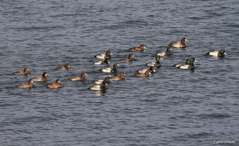 Greater Scaups Aythya marila (Sachuest Point).