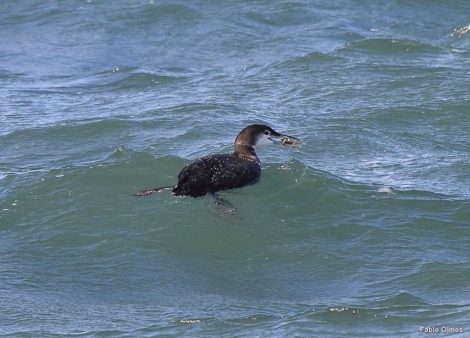 Uma Common Loon (ou Diver) Gavia immer com um siri (Sachuest Point).