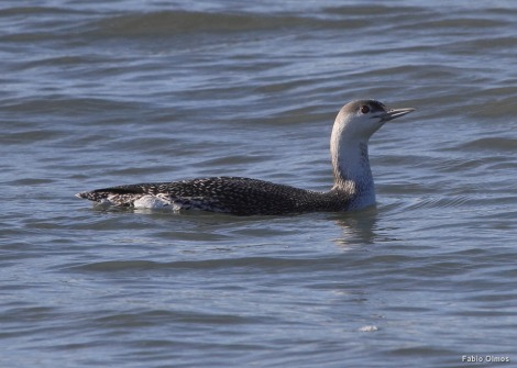 Red-throated Loon (ou Diver) Gavia stellata (Trustom Pond NWR)
