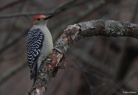 Red-bellied Woodpecker Melanerpes carolinus (Trustom Pond NWR).