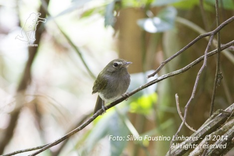 Olho-falso (Hemitriccus diops)